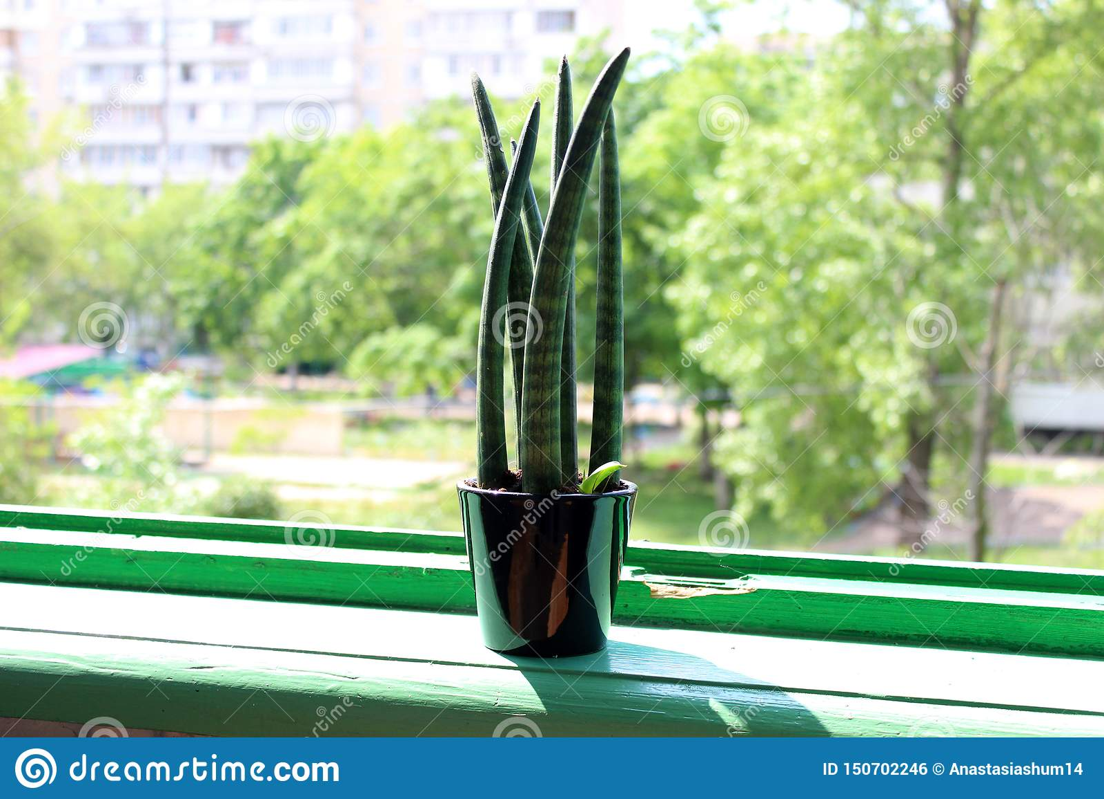 Суккулентный конец вверх в черном баке на зеленом силле окна