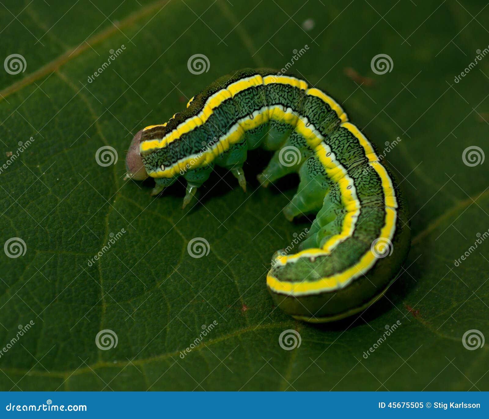 Сумеречница веника, личинка pisi Melanchra