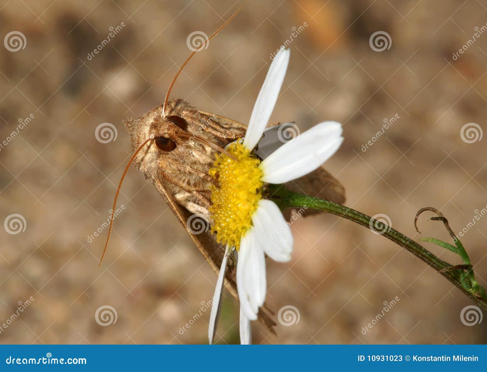 сумеречница цветка