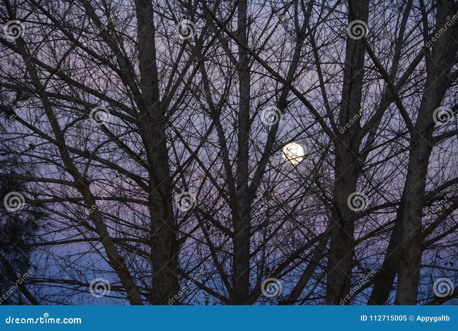 Супер луна на сумраке до ветвей дерева затмения луны крови в переднем плане