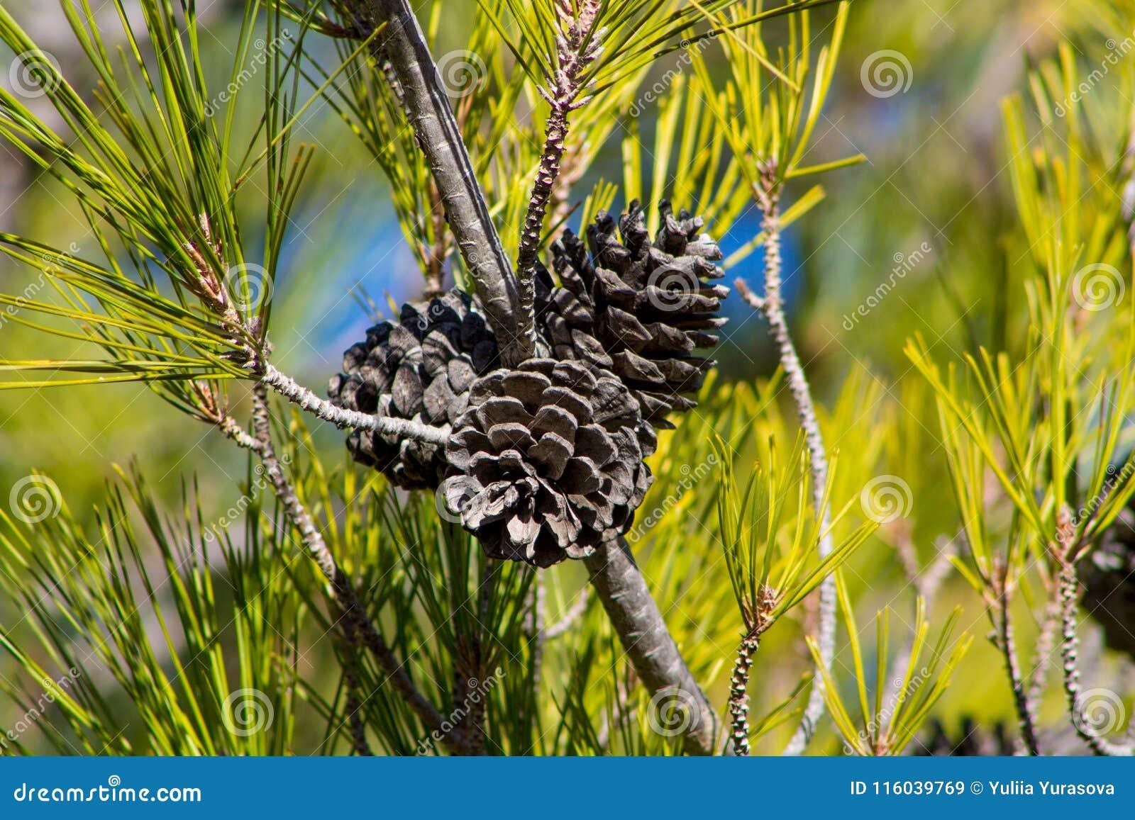 Сухие конусы сосны на сосне в одичалом лесе