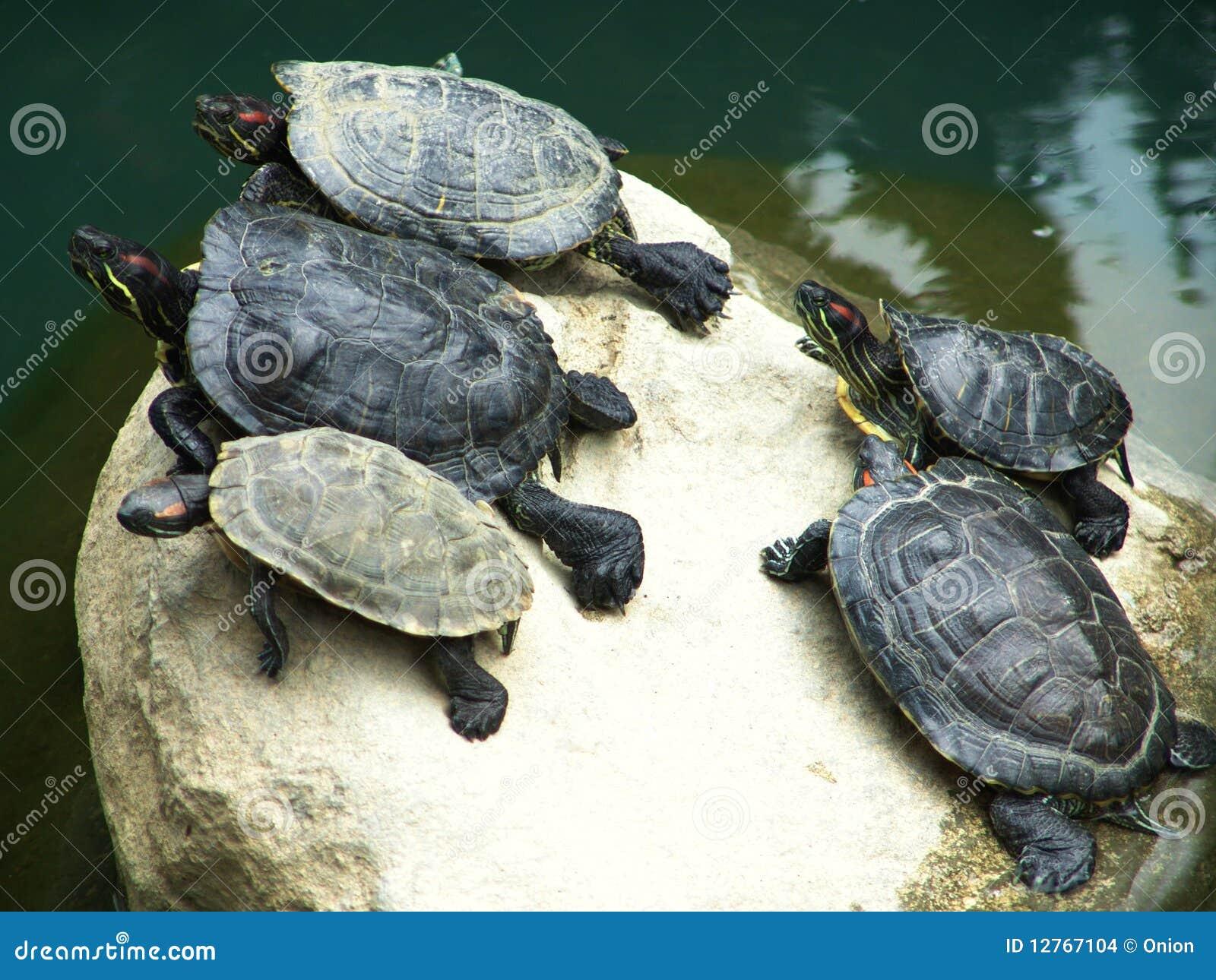 сухие черепахи утеса группы