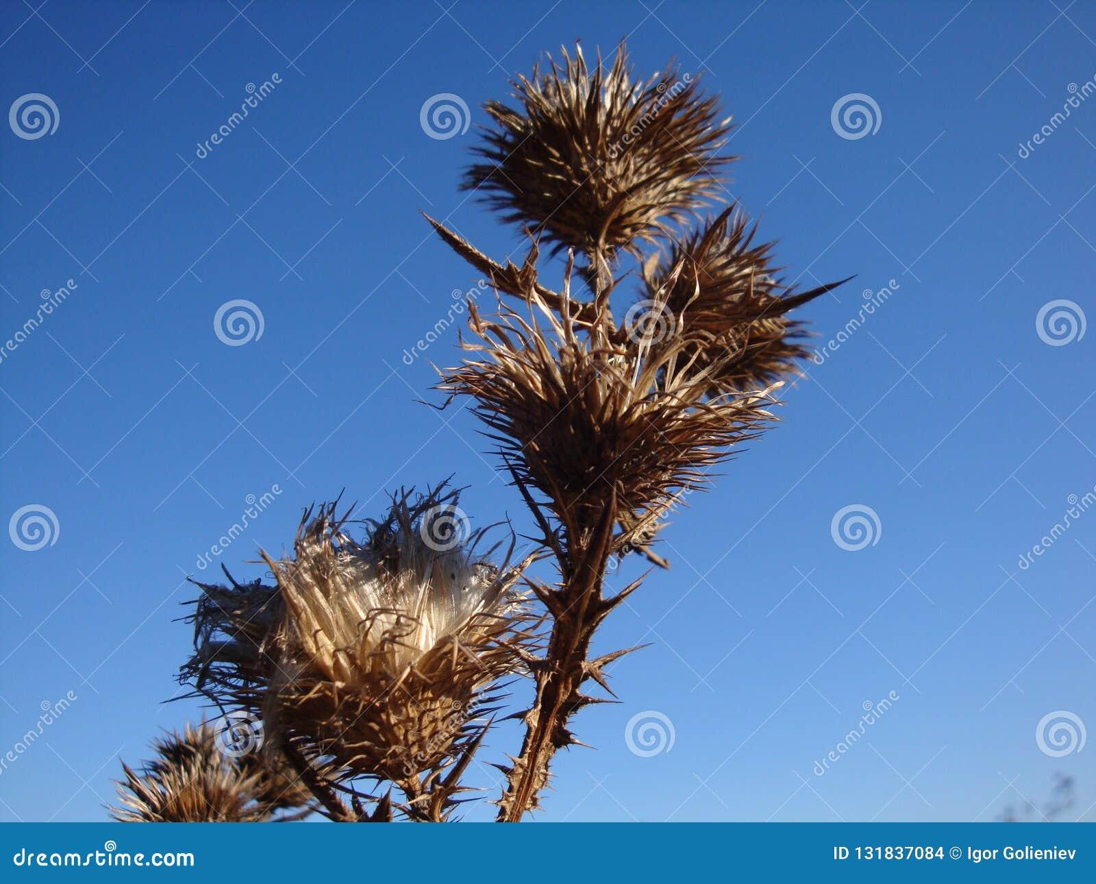 Сухой и шиповатый куст терния на сухом поле