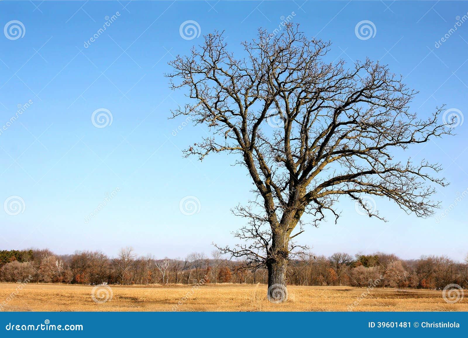 Сучковатый чуть-чуть разветвленный старый дуб изолированный в стране