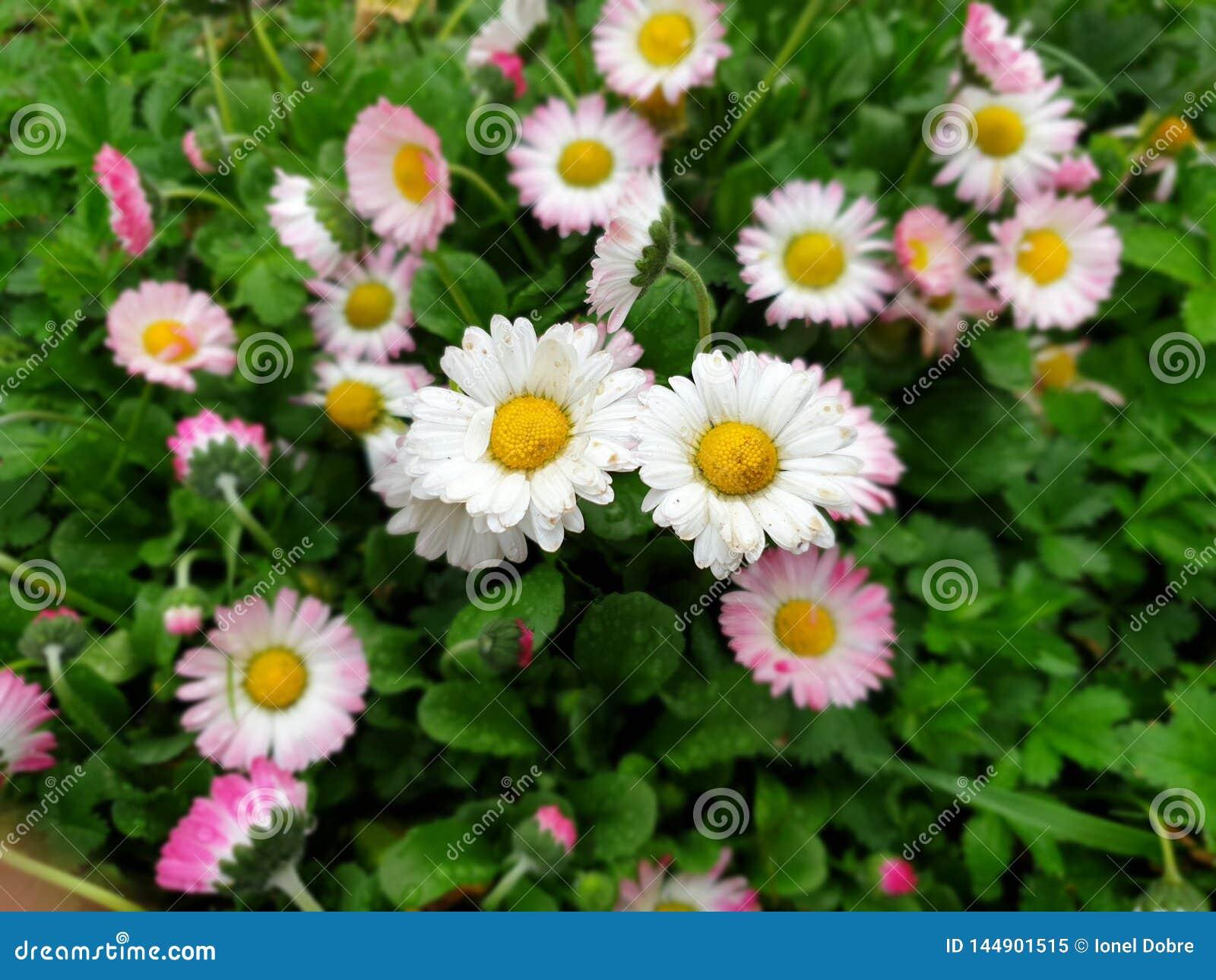 Сфокусированные цветки маргаритки - весеннее время