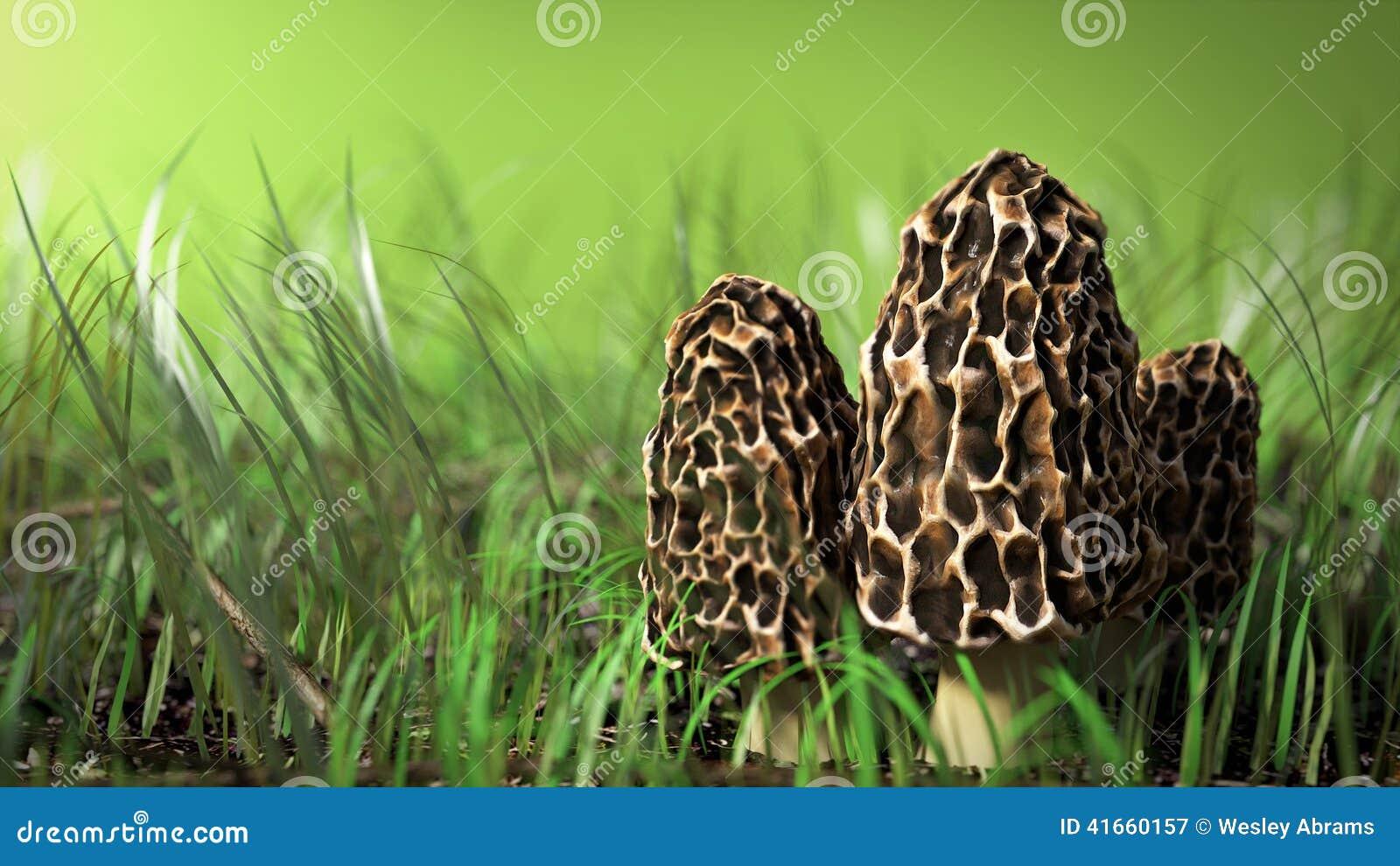 Сцена гриба сморчка