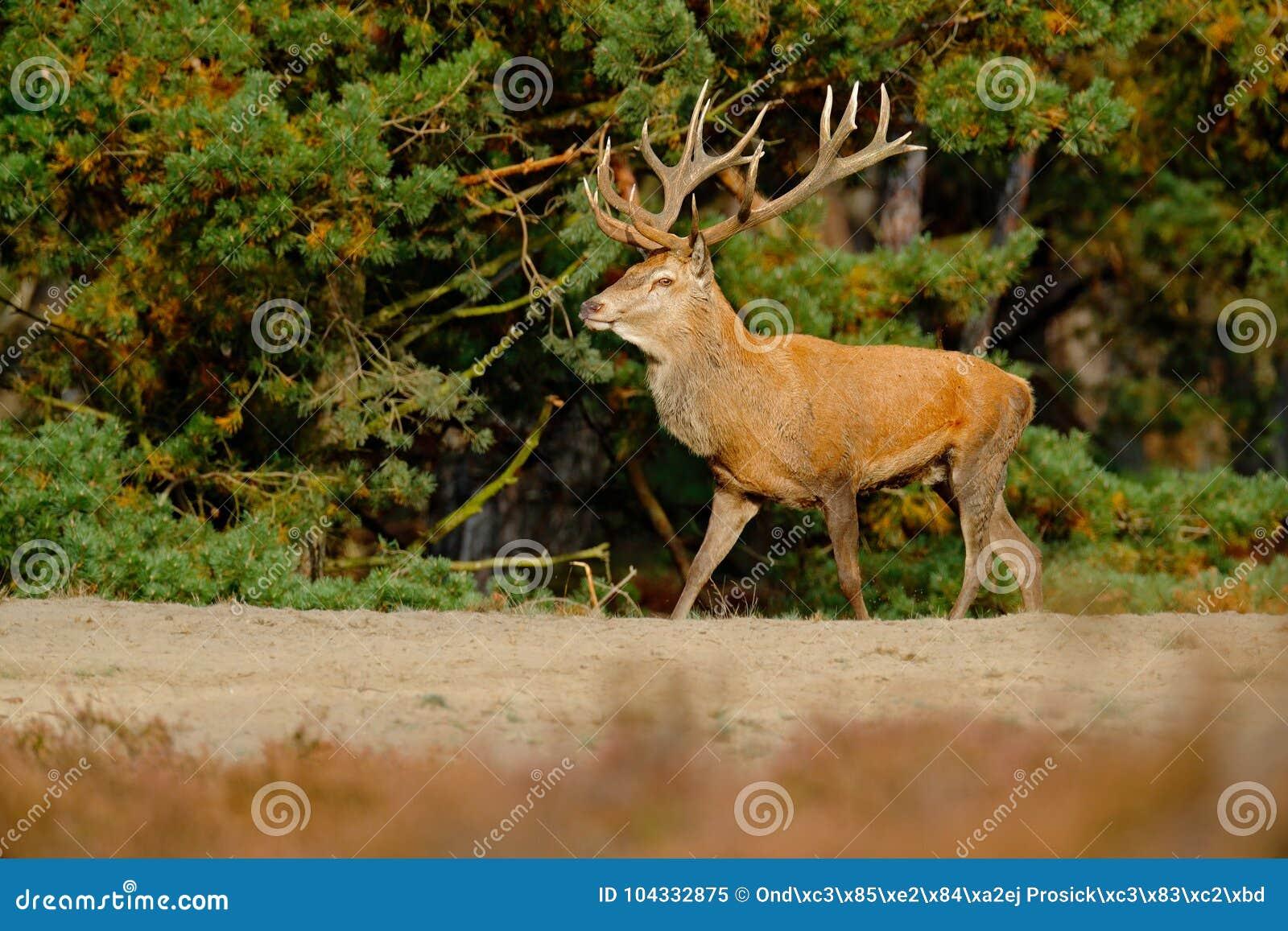 Сцена живой природы, природа Вересковая пустошь вереска, поведение животного осени Красные олени, прокладывать сезон, Hoge Veluwe