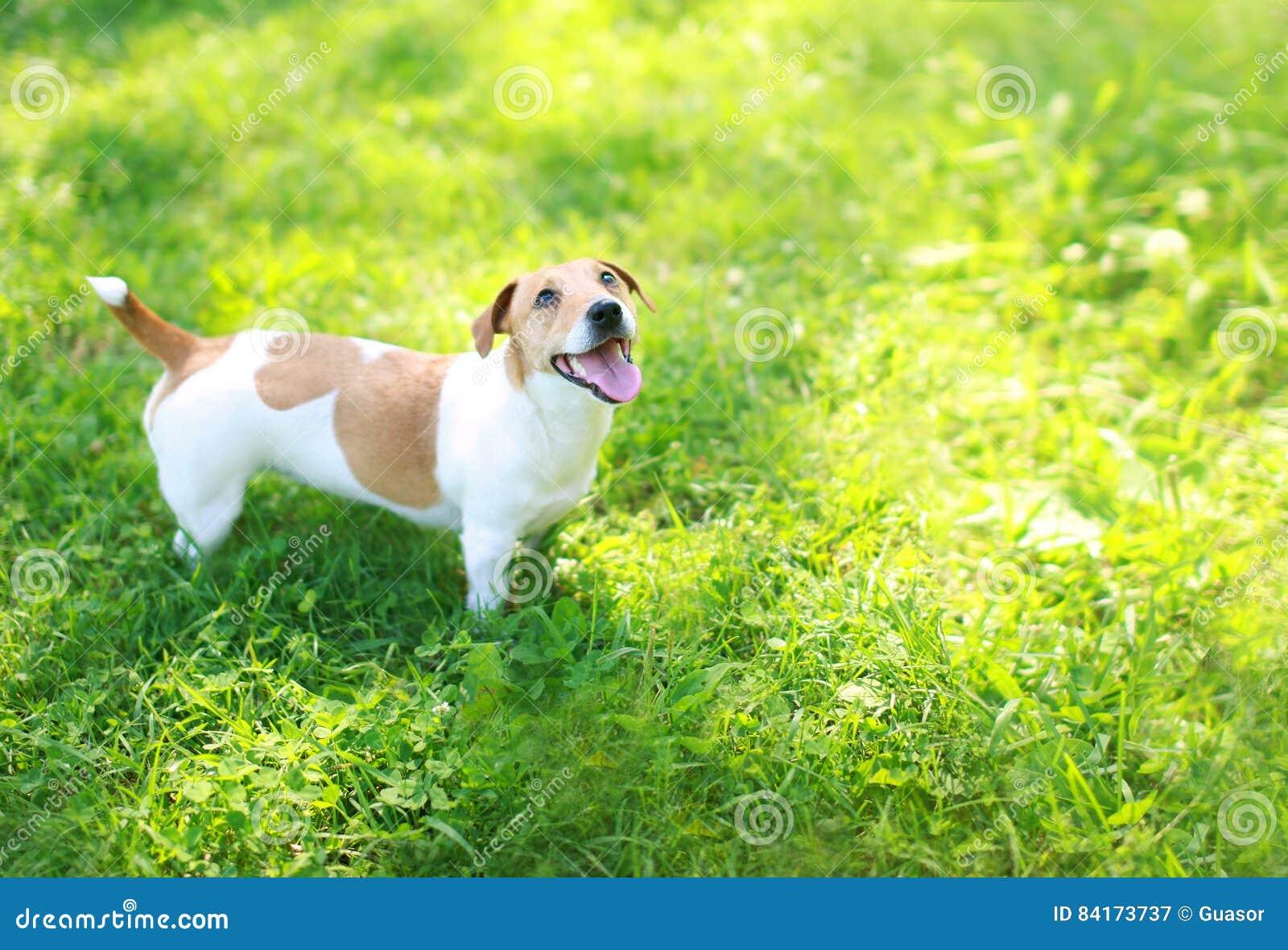 Счастливая собака терьера Джека Рассела на лете зеленой травы в солнечном дне смотря вверх