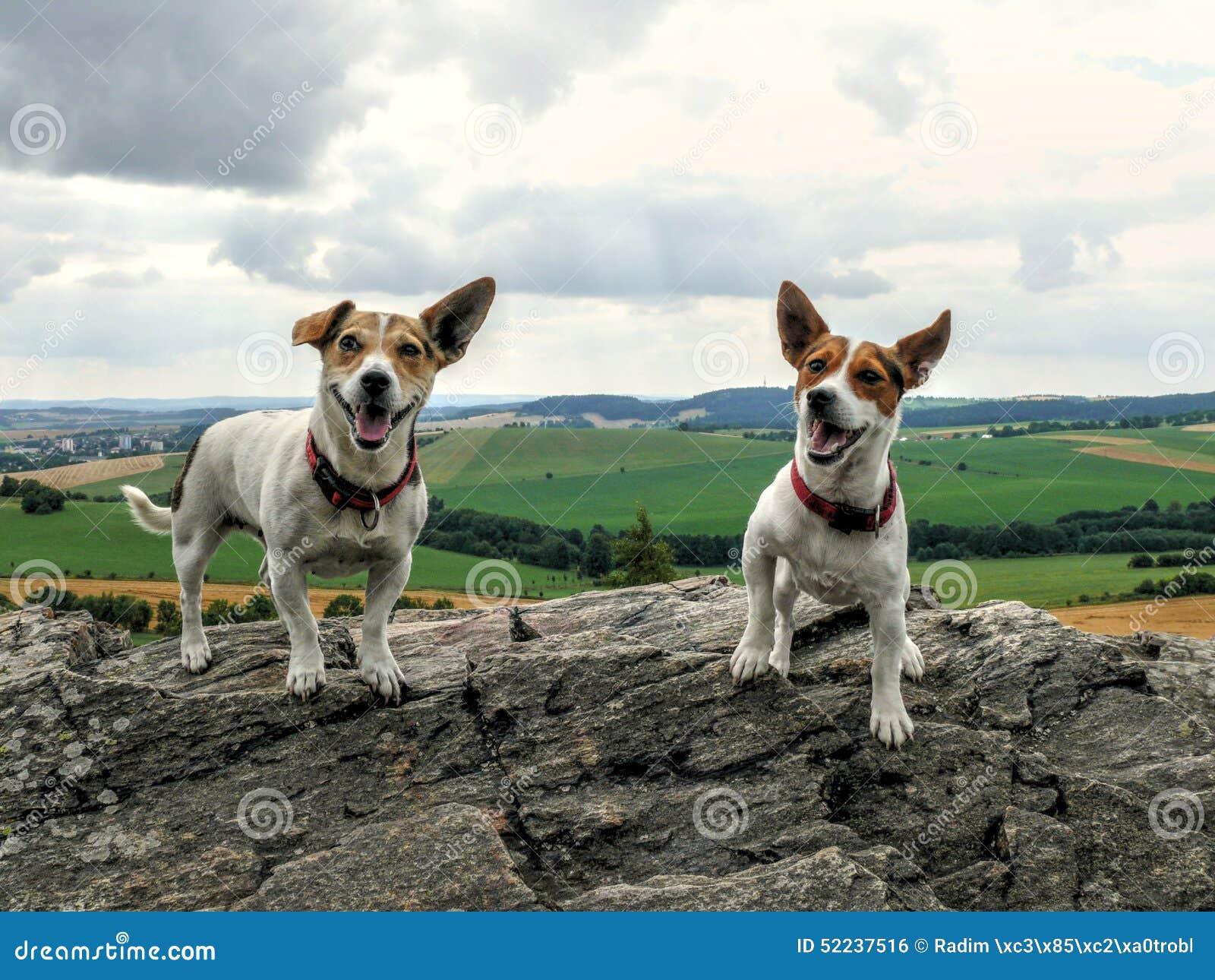 Счастливые собаки терьера Джека Рассела