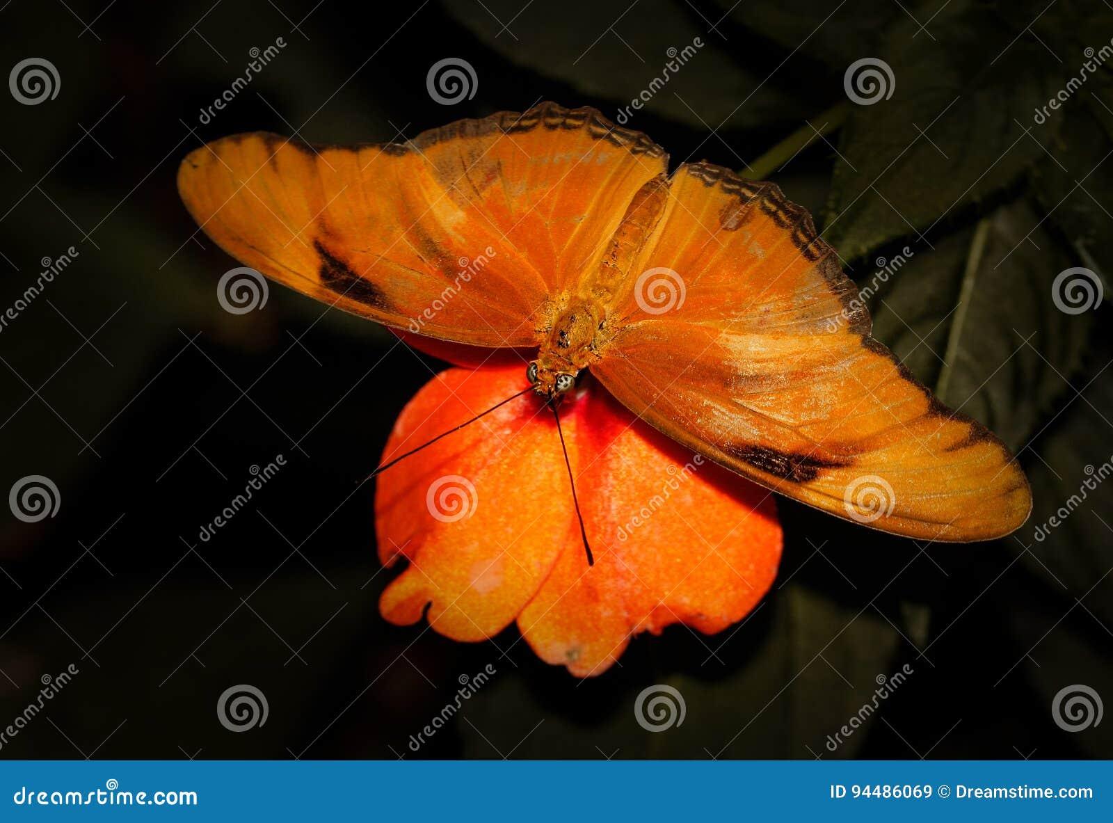 Съемка макроса бабочки Джулии