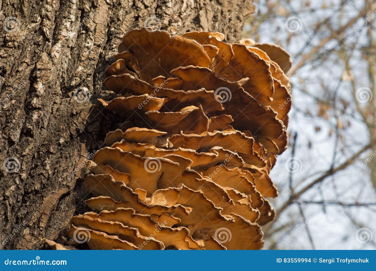 Съестное sulphureus Laetiporus гриба, краб---древесины, polypore серы, полка серы, цыпленк---древесины Грибок кронштейна