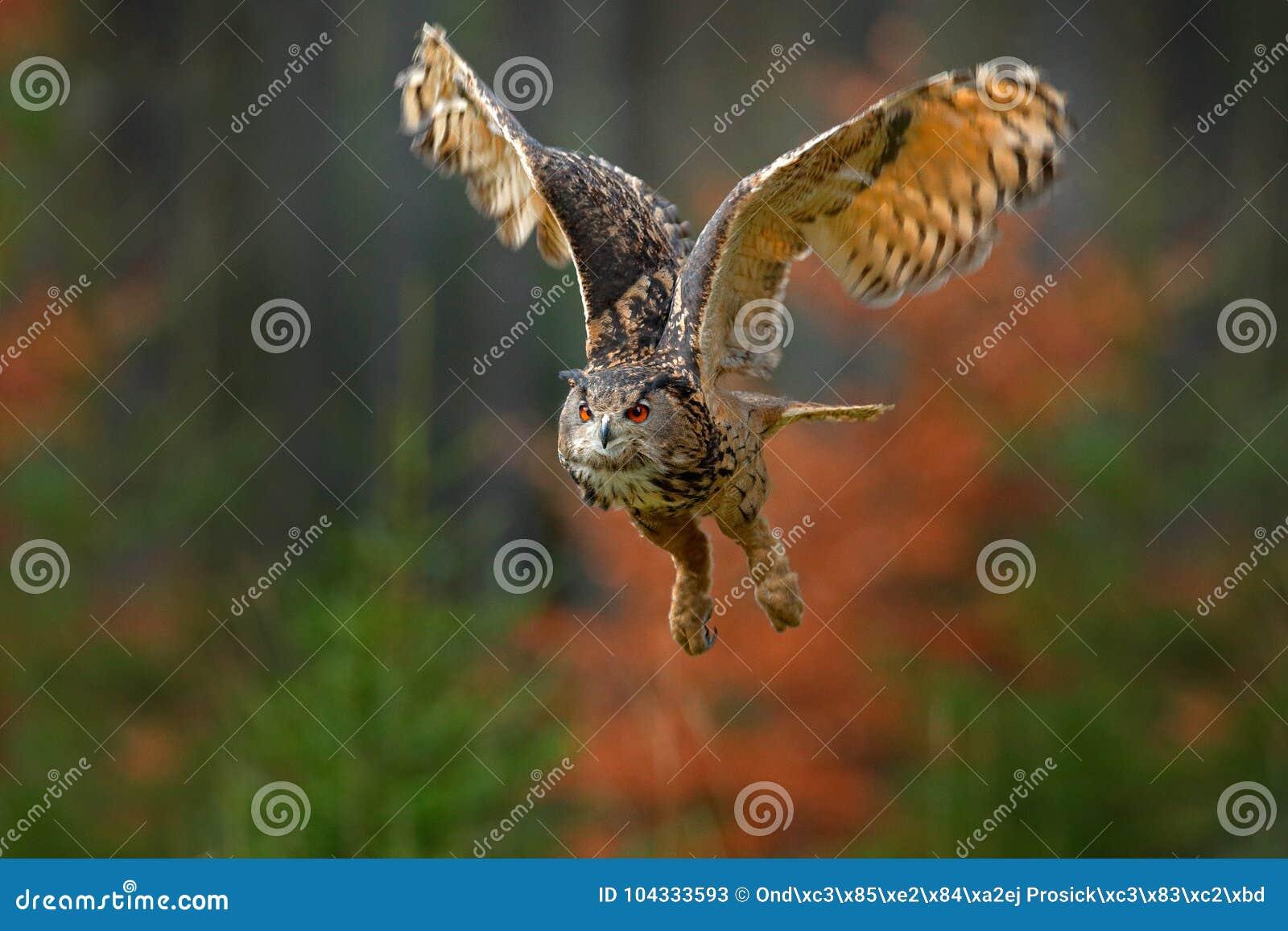 Сыч орла летания евроазиатский, bubo Bubo, с открытыми крылами в среду обитания леса, оранжевые деревья осени Сцена от леса приро