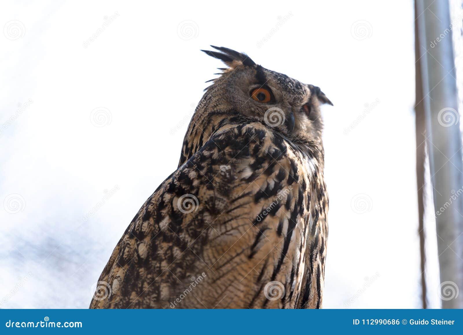 Сыч орла