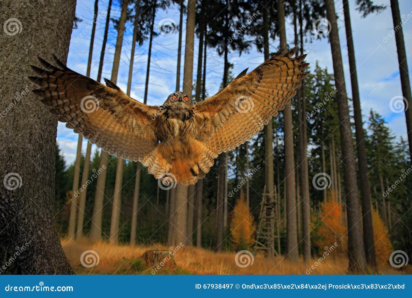 Сыч орла летания евроазиатский с открытыми крылами в среду обитания леса, фото широкоформатного объектива