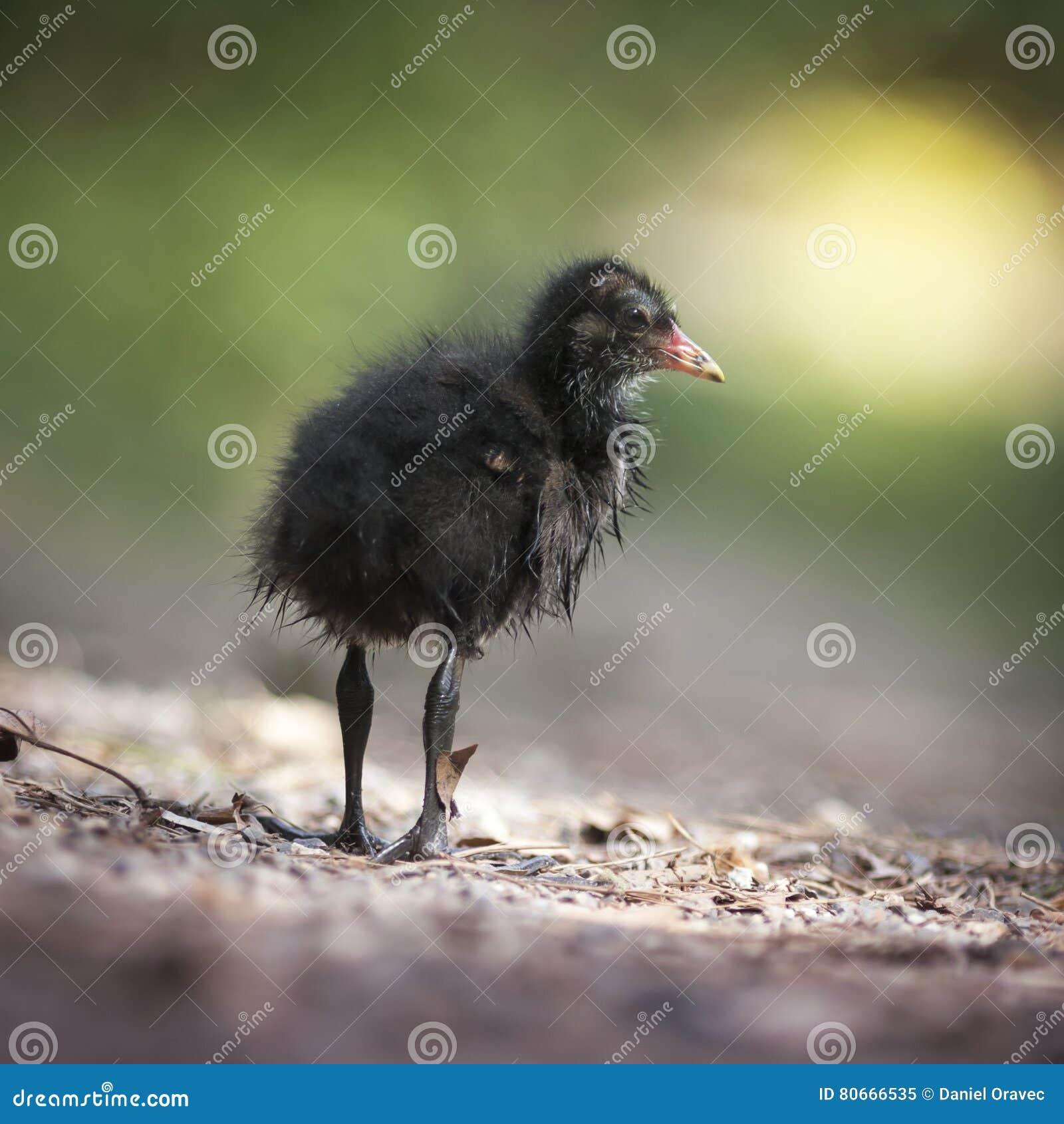 Сладостная маленькая черная утка