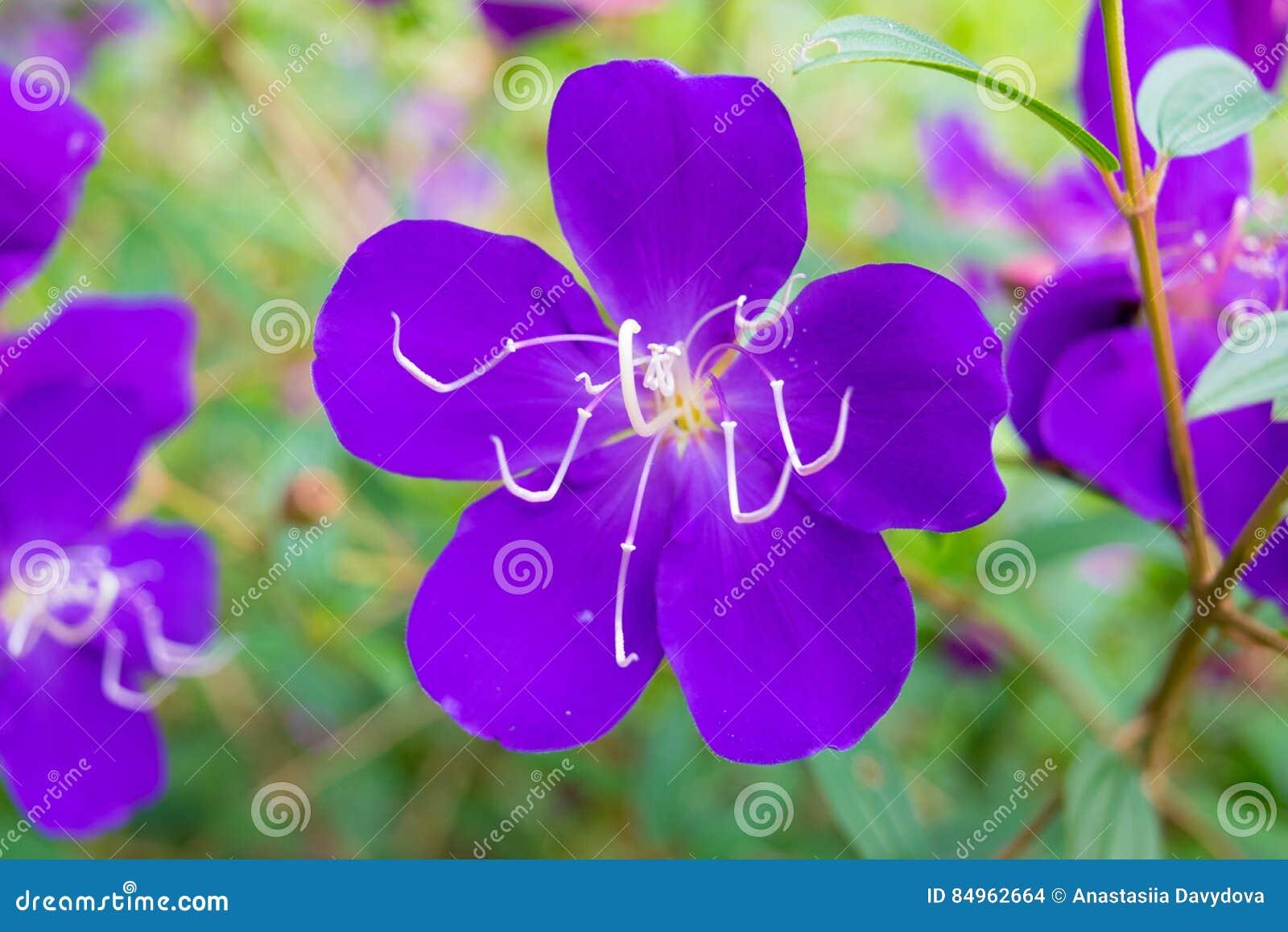 Фиолетовый цветок с тычинками