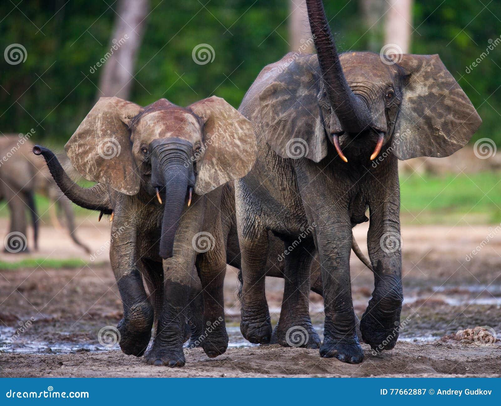 Слоны леса играя друг с другом