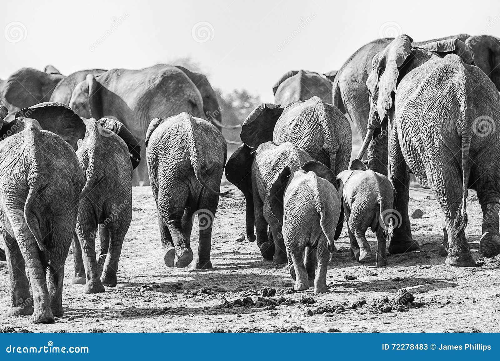 Download Слоны идя прочь стоковое изображение. изображение насчитывающей гулять - 72278483