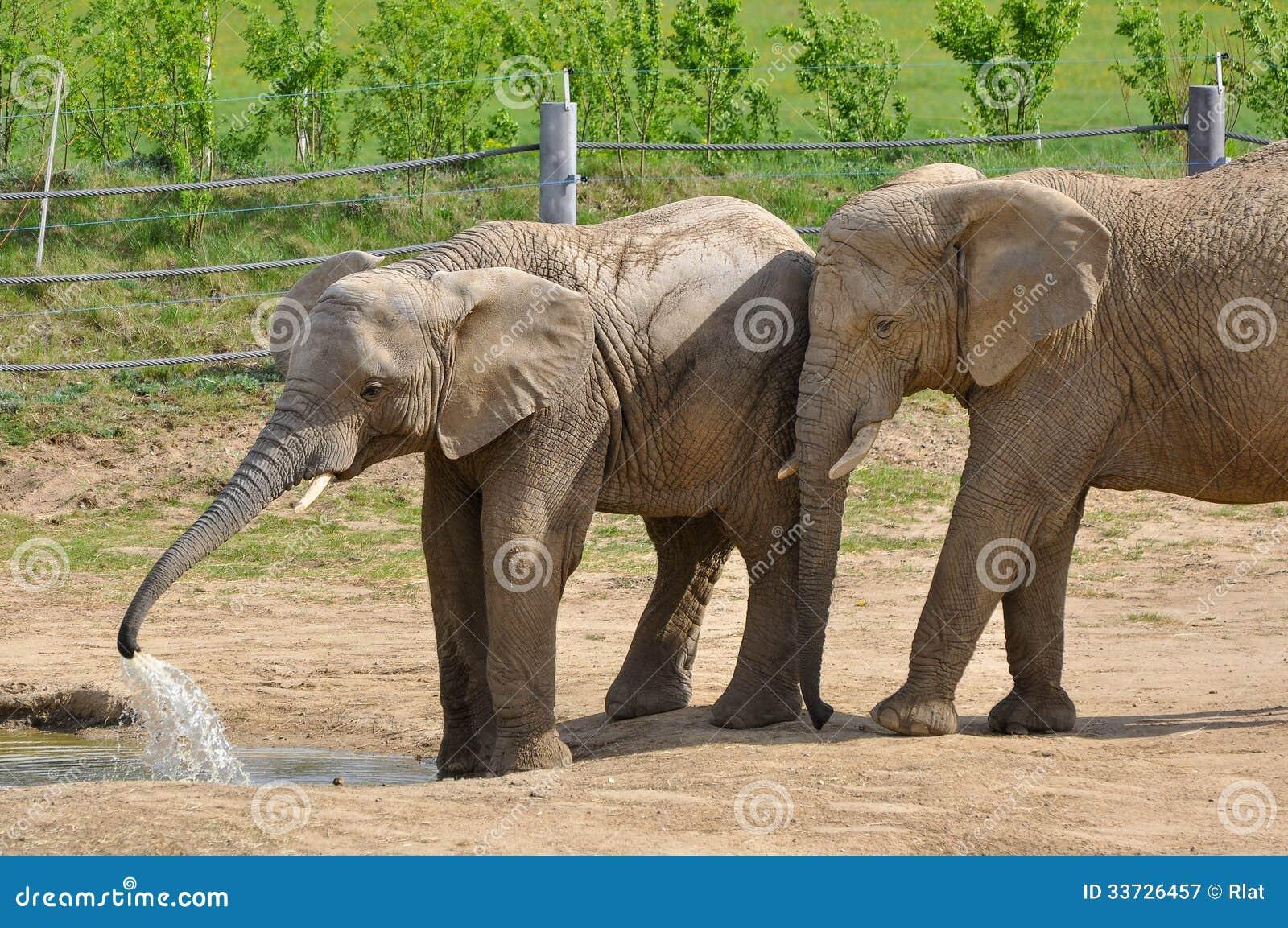 Слоны на paddock