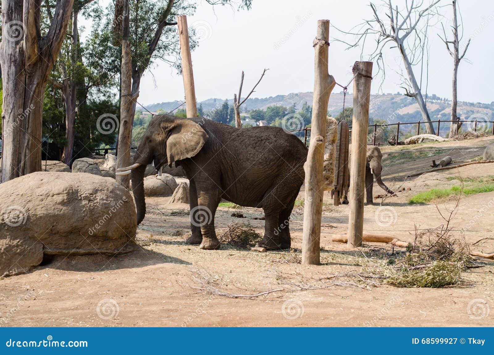 Слон на зоопарке