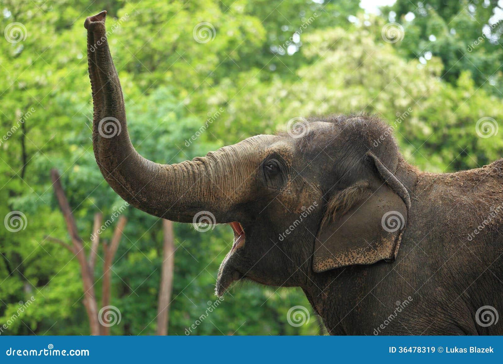Слон реветь азиатский