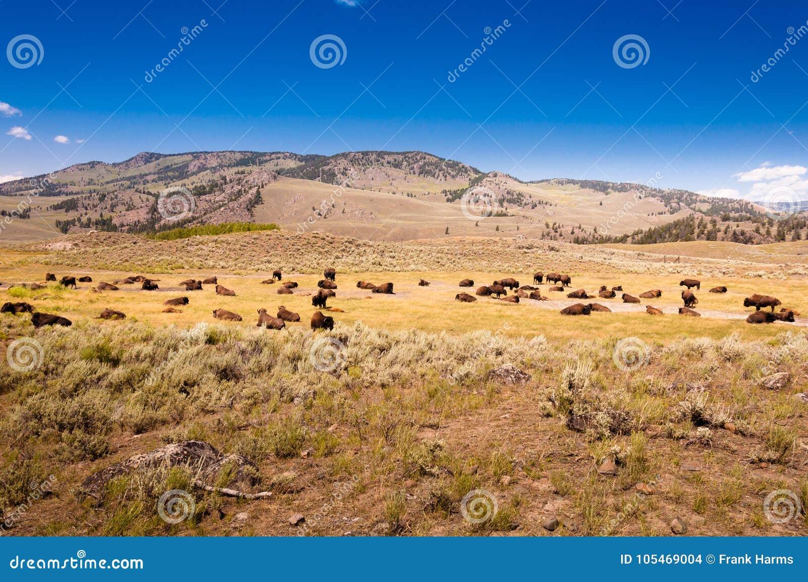 Табун бизона в национальном парке Йеллоустон