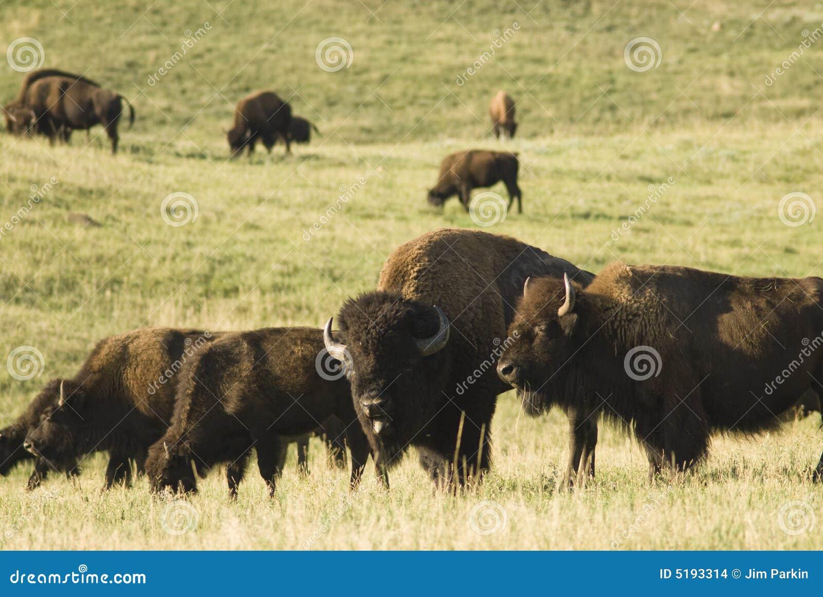 табун буйвола