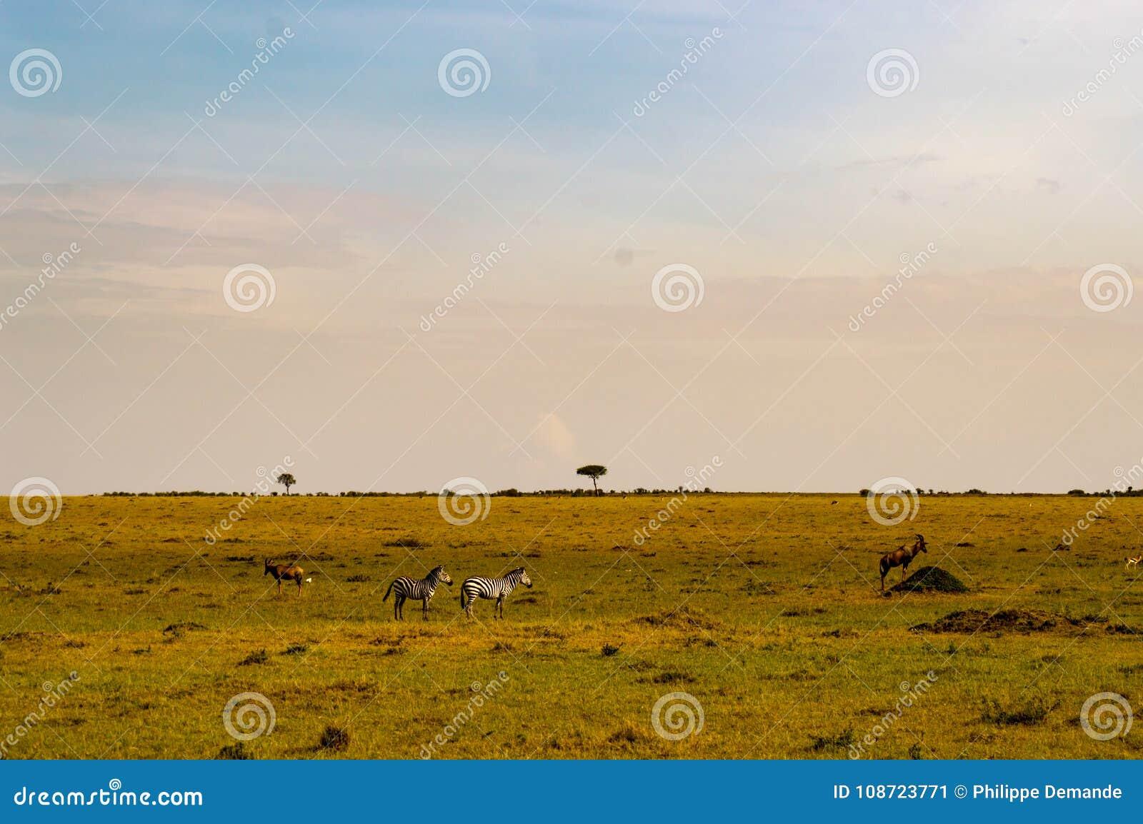 Табун зебр пася в саванне парка Maasai Mara в Ke