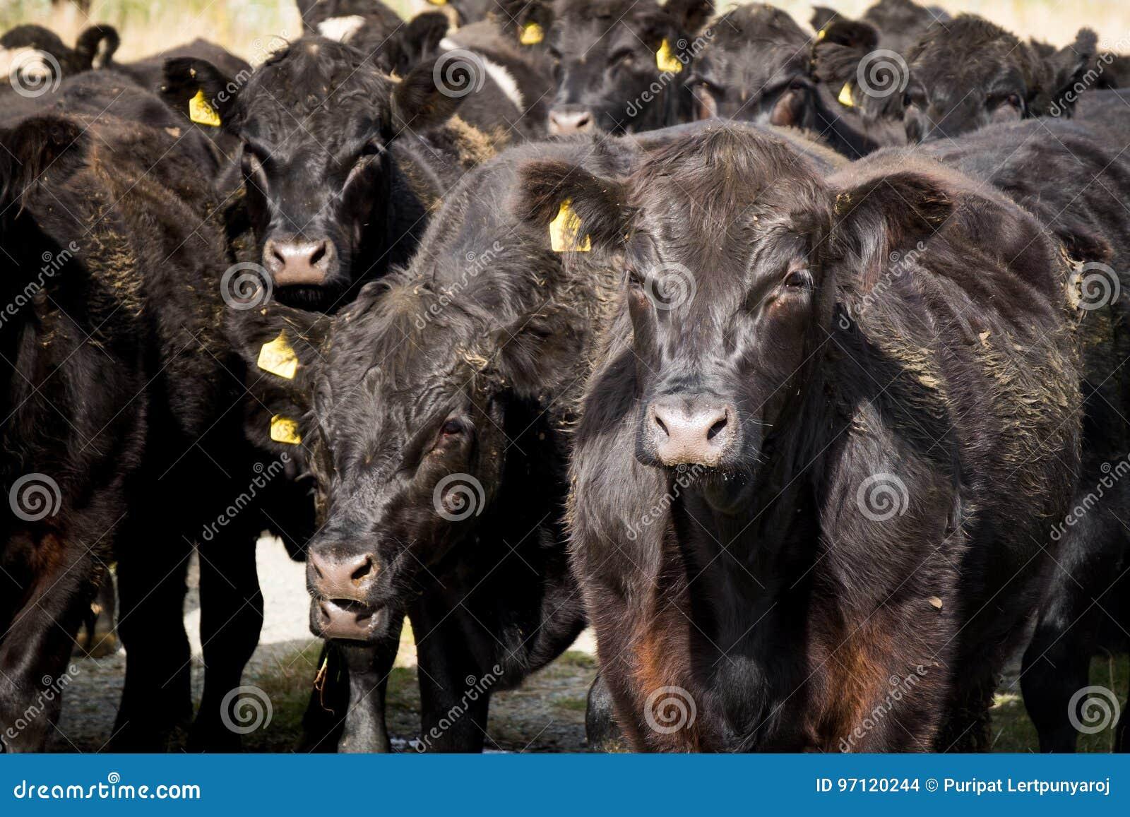 Табун коровы, Новой Зеландии