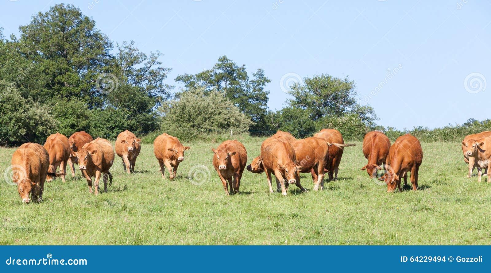 Табун коров говядины Лимузина причаливая в ряд через выгон