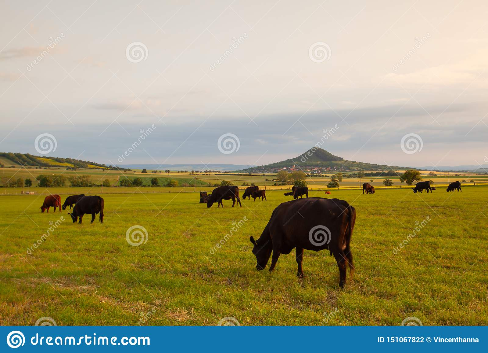 Табун коров на выгоне в центральных богемских гористых местностях, чехии
