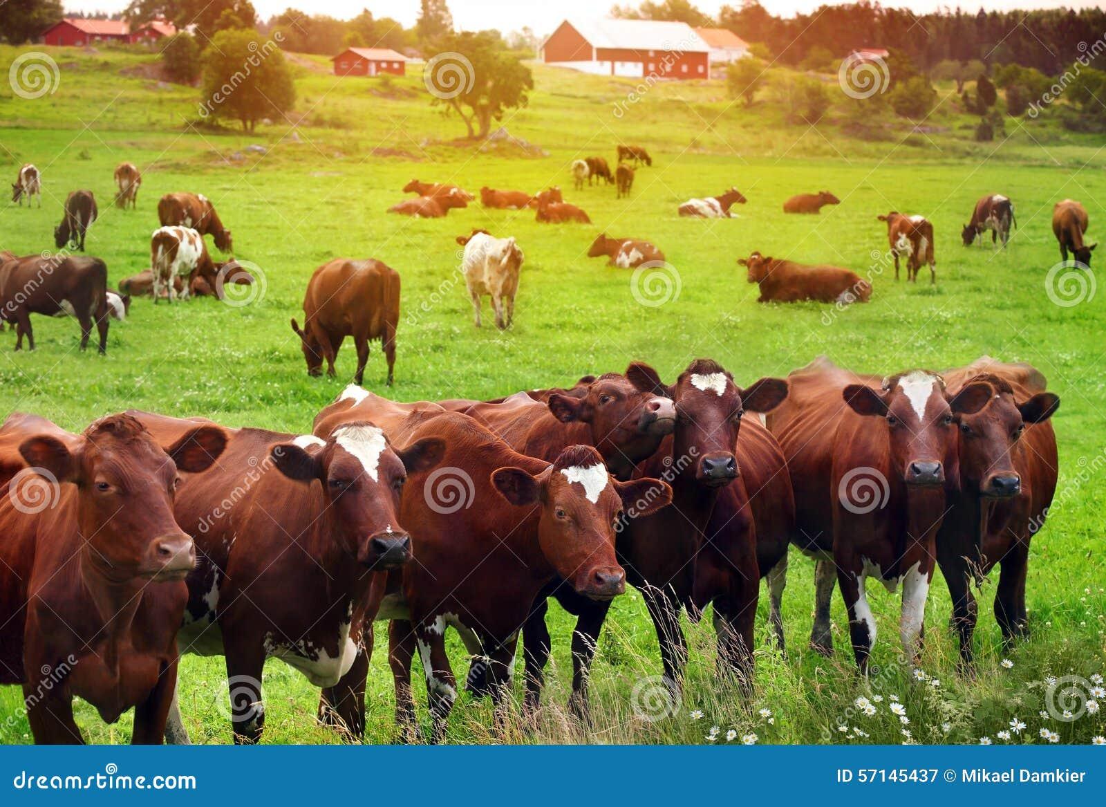 Табун коров