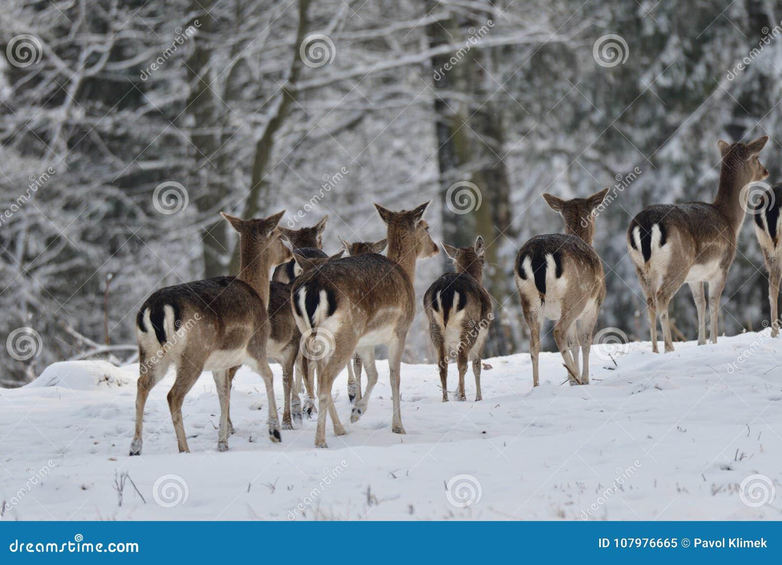 табун ланей наблюдая в белом снежном лесе в зиме