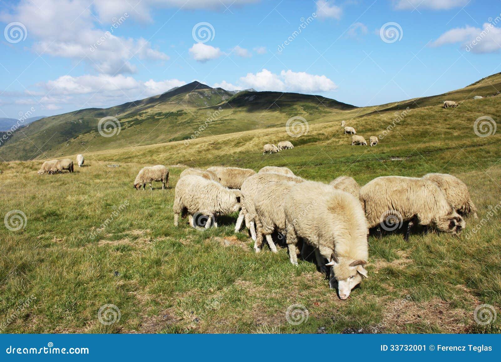 Табун овец