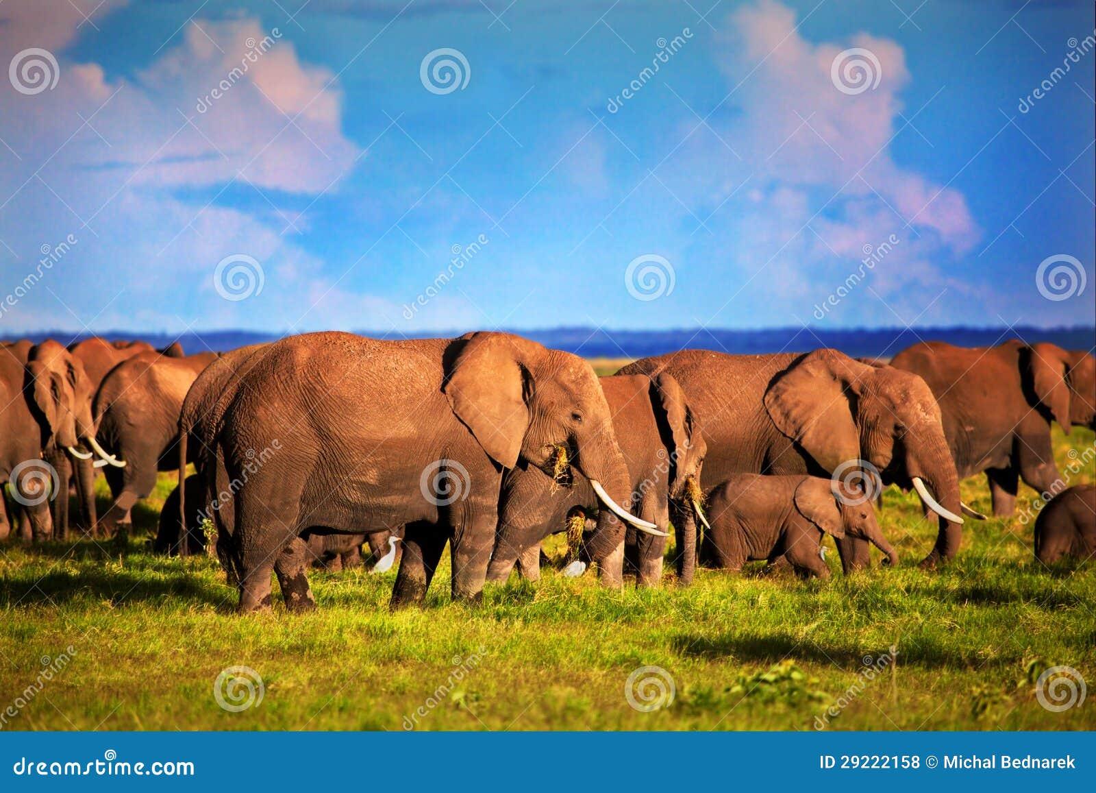 Табун слонов на саванне. Сафари в Amboseli, Кении, Африке