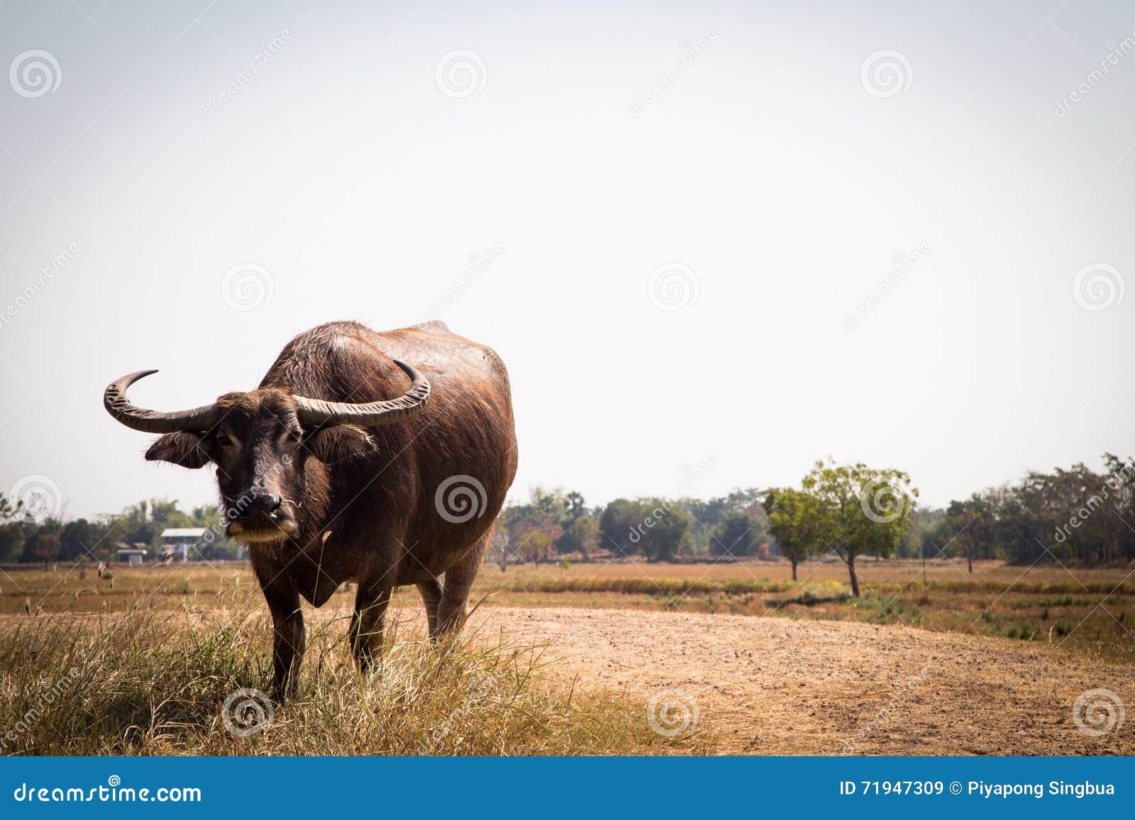 Тайский буйвол на поле риса, индийском буйволе в Таиланде