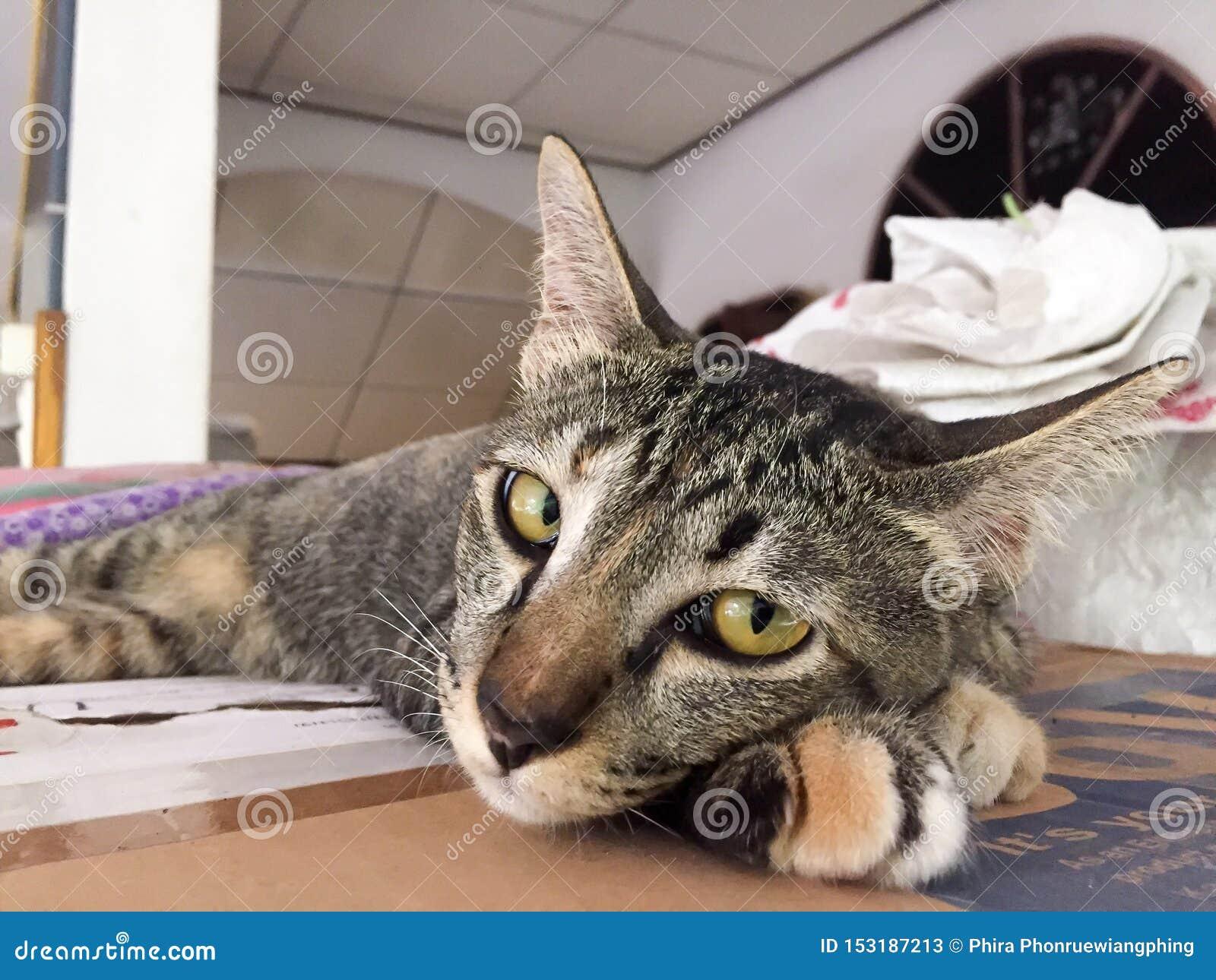 Тайский кот милый кот, оно спит r