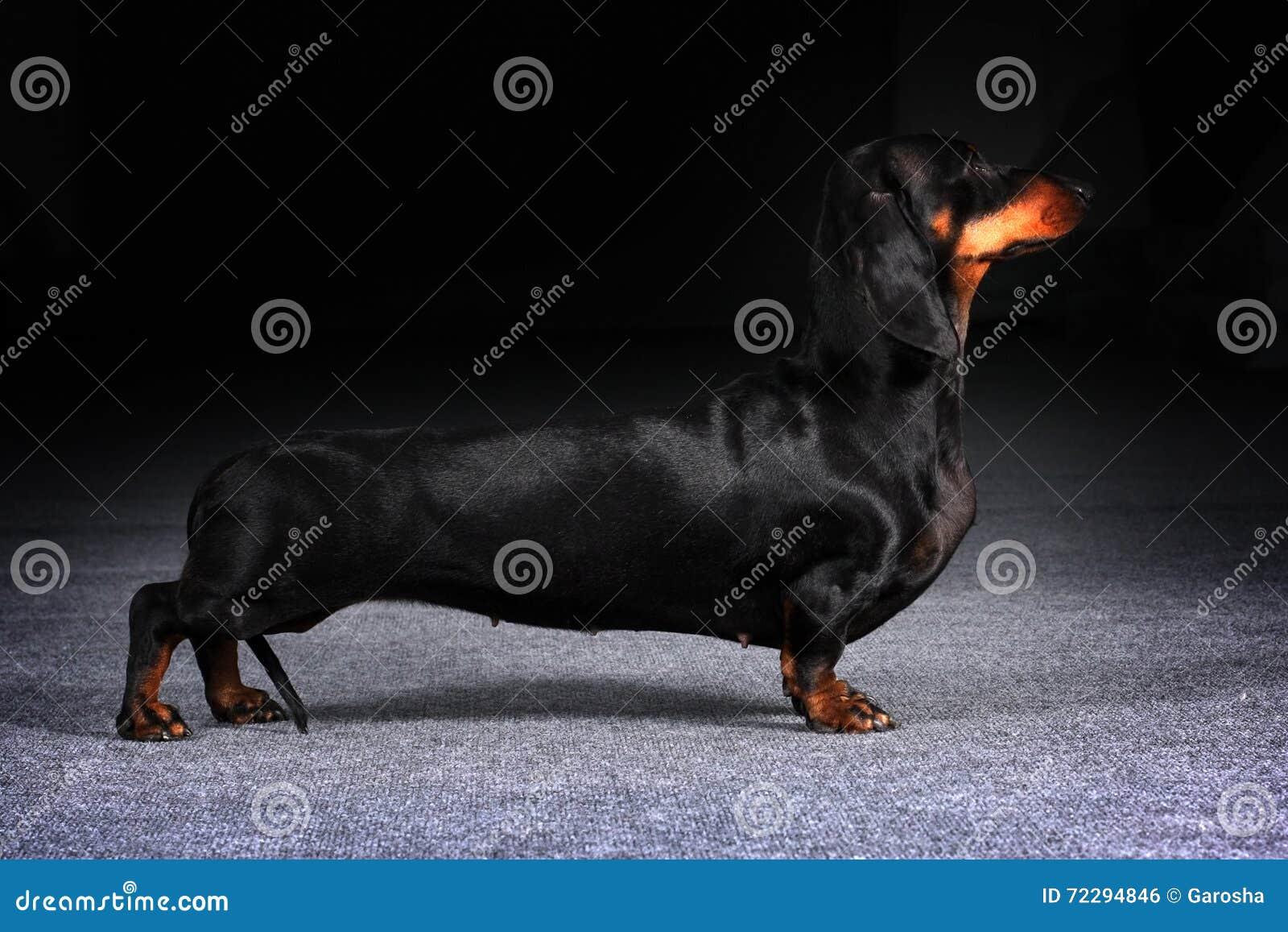 Download Такса собаки немецкая показать положение Стоковое Фото - изображение насчитывающей длиной, охотник: 72294846