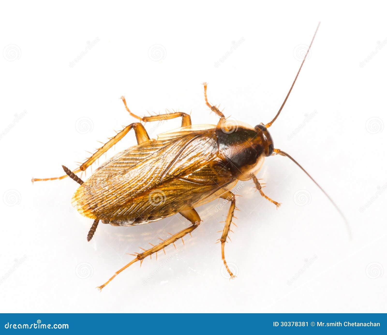 Таракан germanica Blattella немецкий