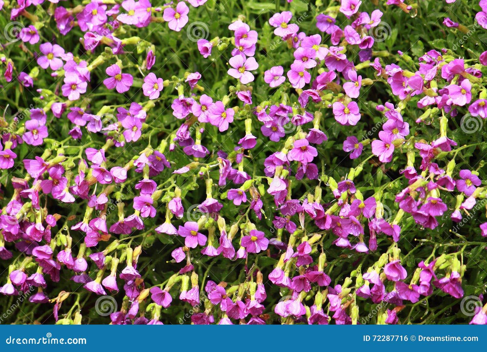 Download Текстура розовых цветков в саде Стоковое Фото - изображение насчитывающей лепесток, страсть: 72287716