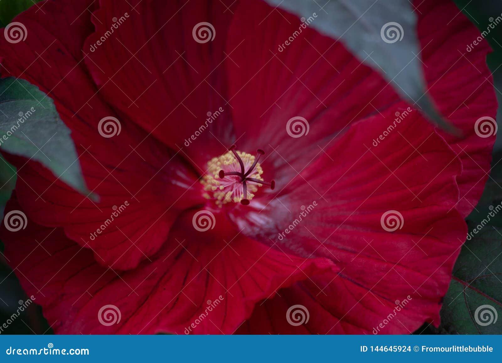 Темно-красный макрос тычинки гибискуса