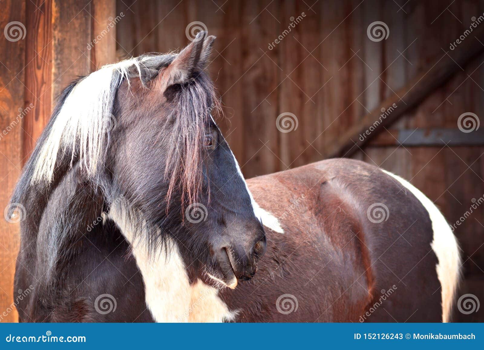 Темный коричневый взгляд со стороны лошади пегой лошади на расплывчатой деревянной стабилизированной предпосылке