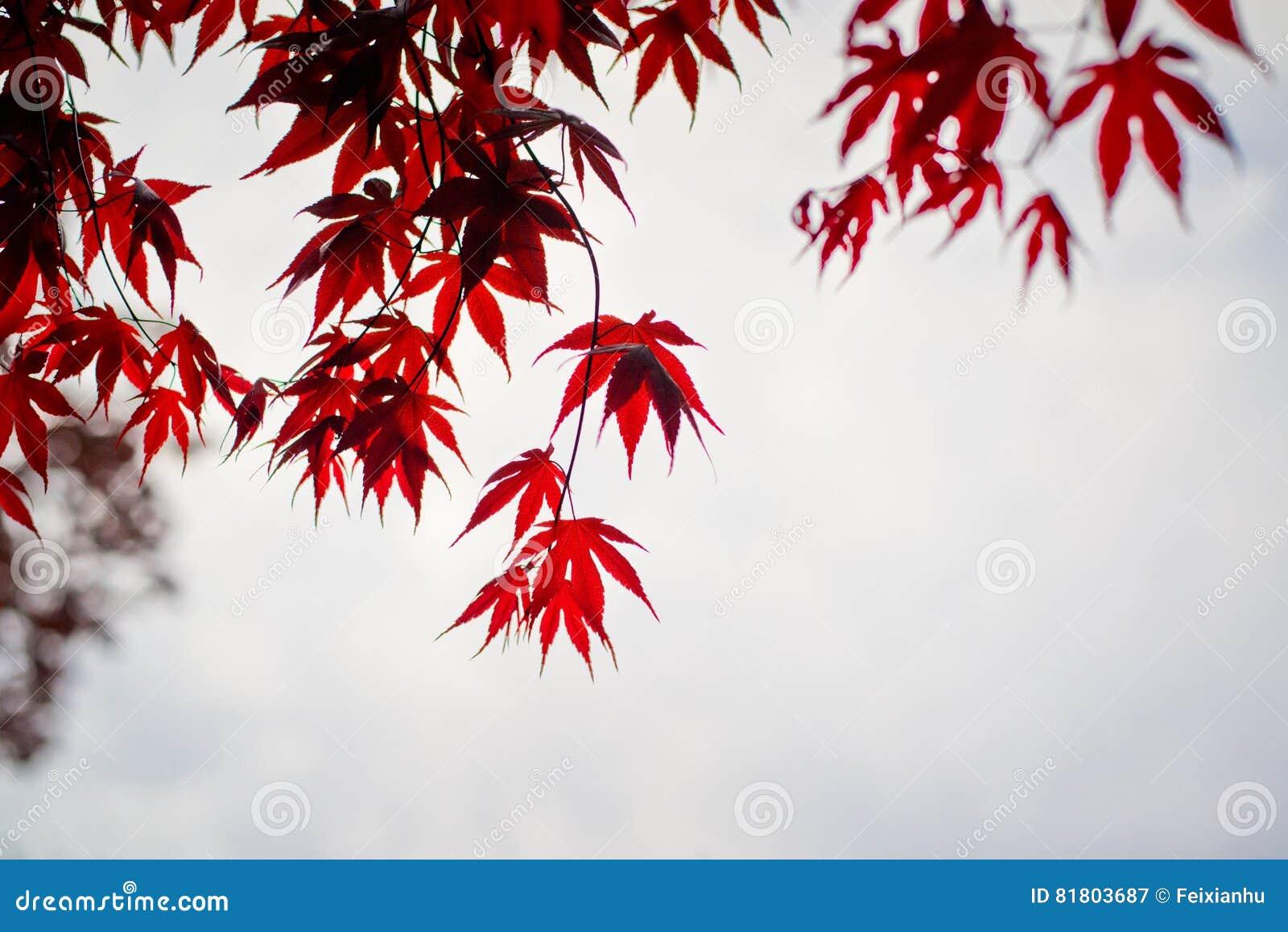 Темный - красные кленовые листы в небе как предпосылка