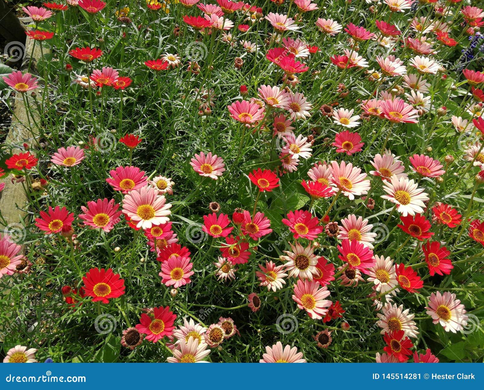 Темный - красный и светлый - розовый ковер цветков
