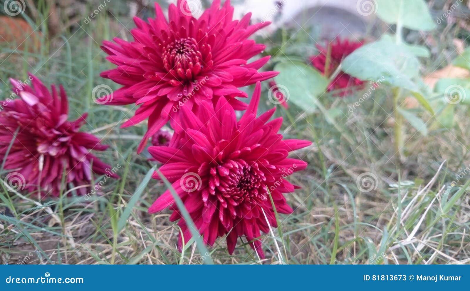 Темн-красные цветки