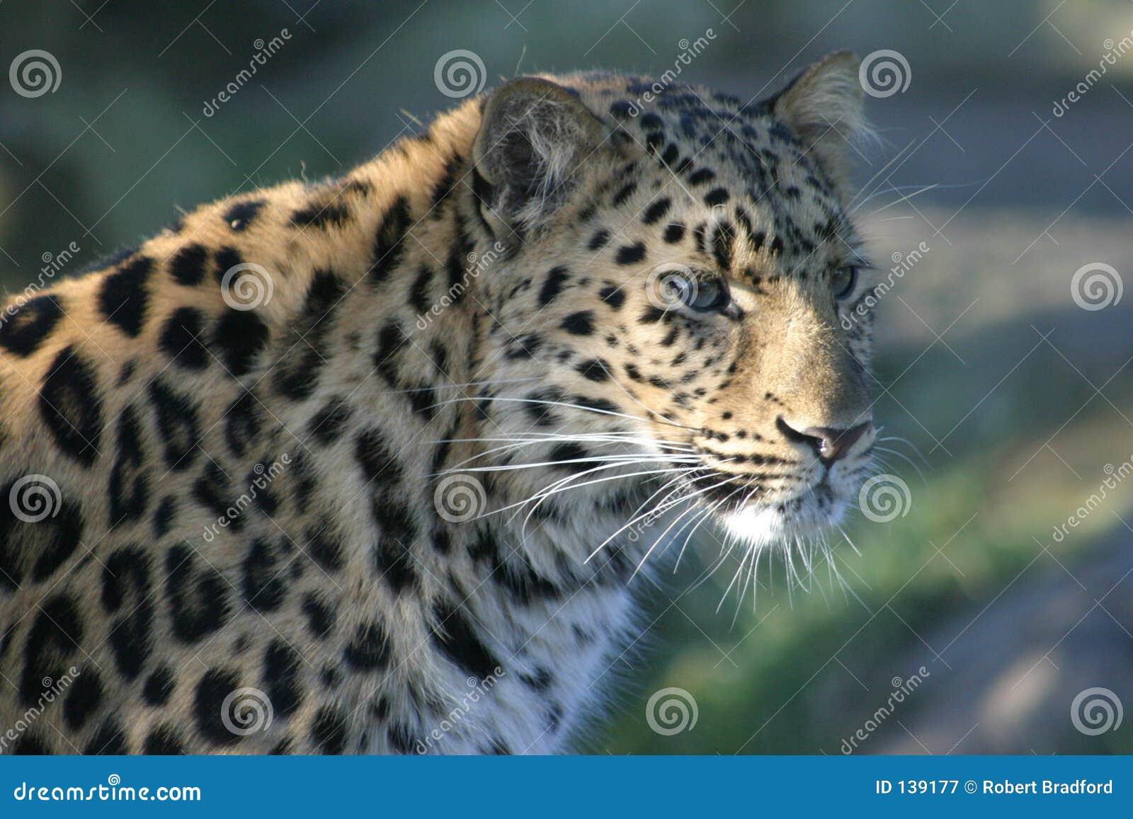 тень леопарда