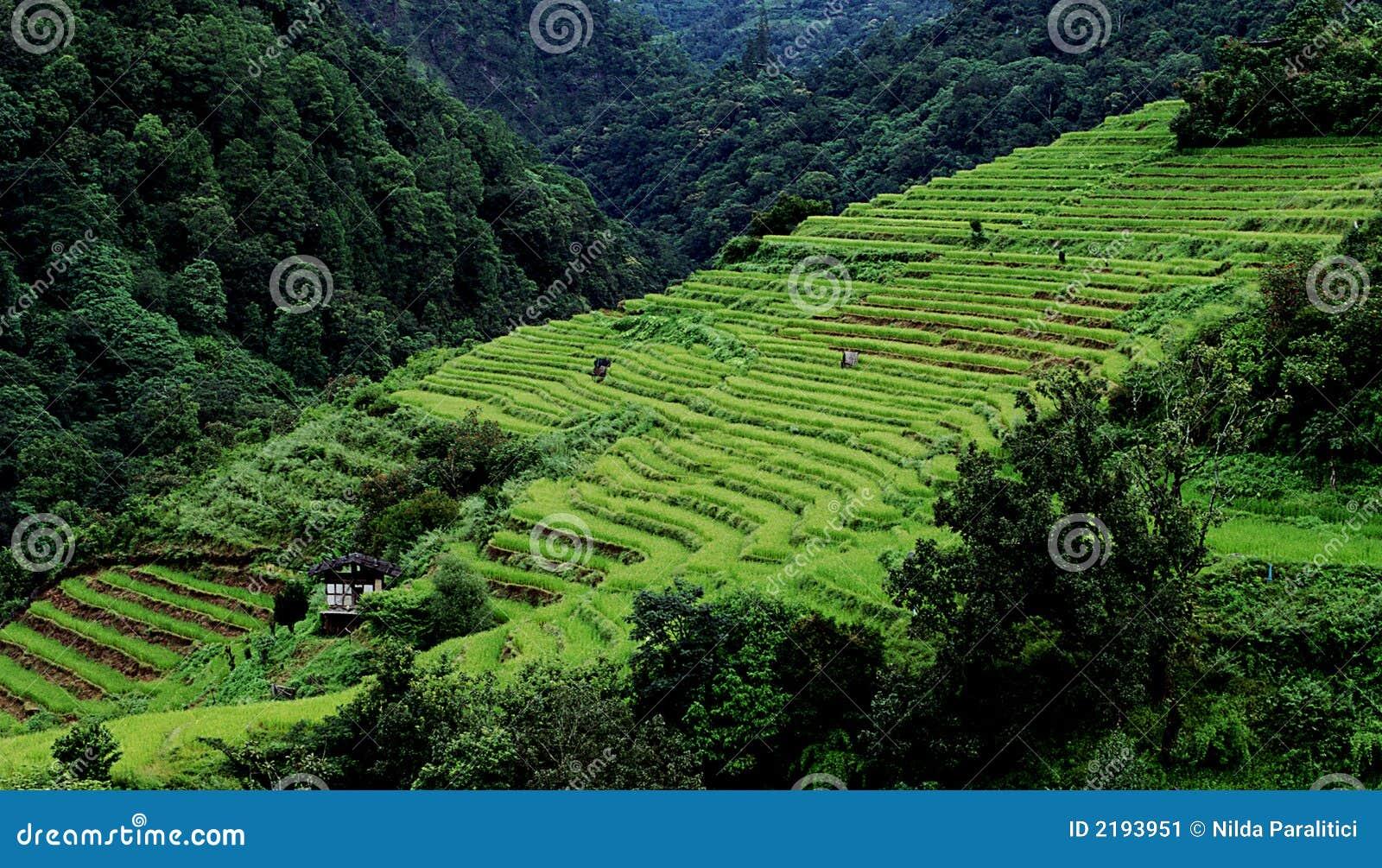 терраса риса
