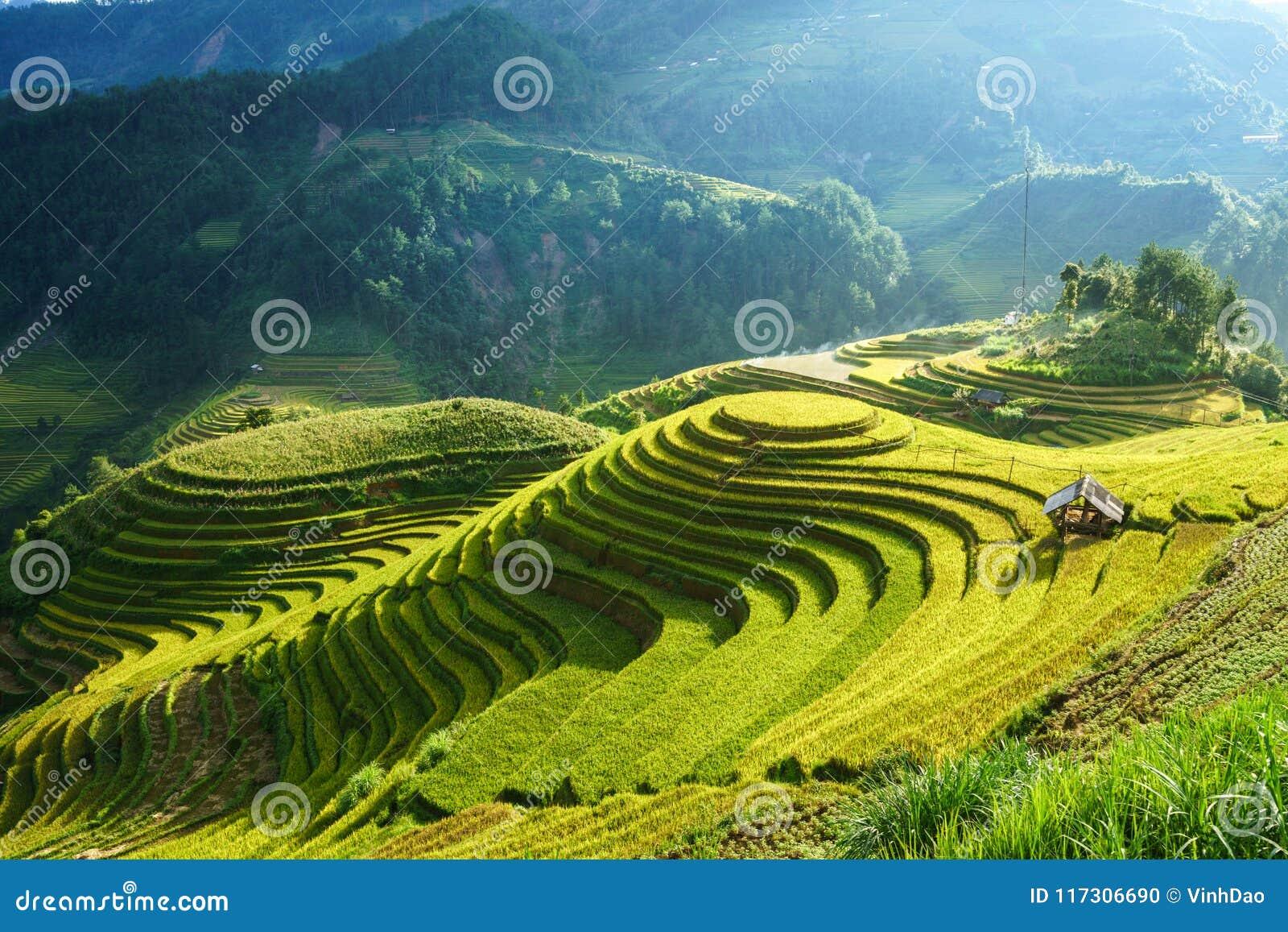 Террасное поле риса в сезоне сбора в Mu Cang Chai, Вьетнаме Назначение перемещения Mam Xoi популярное