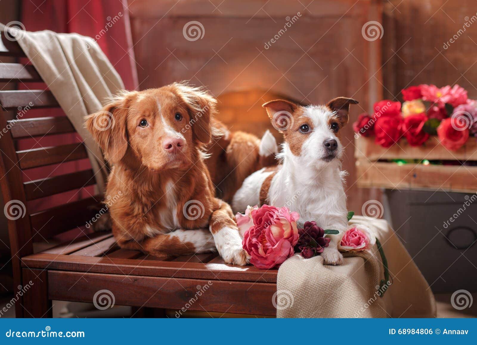 Терьер Джека Рассела собак и собака Новая Шотландия Duck звоня собака портрета Retriever лежа на стуле в студии