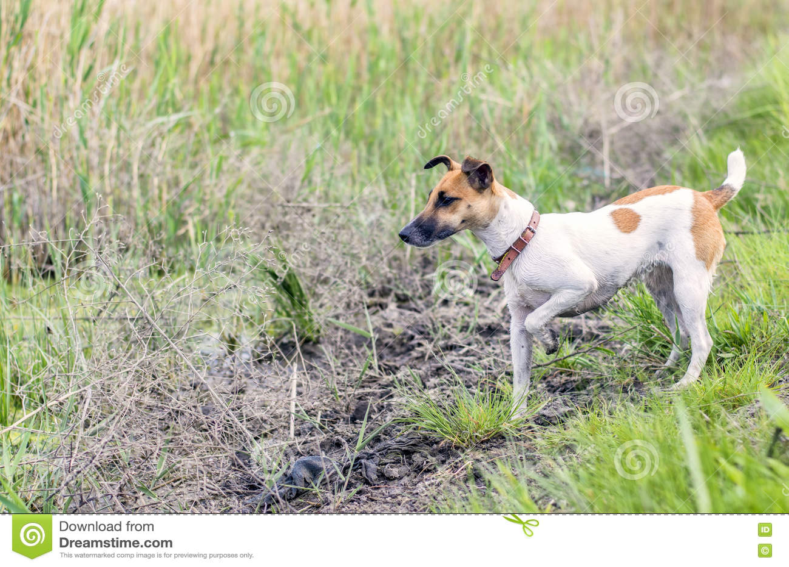 Терьер лисы собаки на открытой земле в охоте